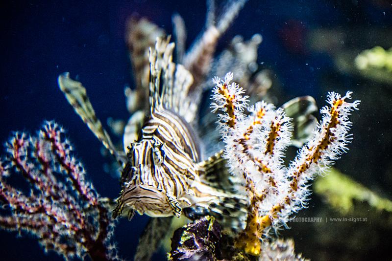 Lionfish at the Monterey Bay Aquarium