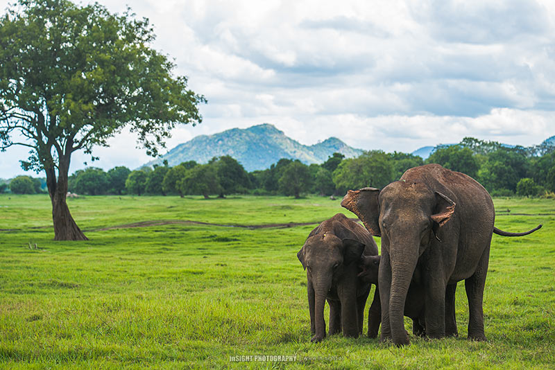 Asian Elephants, Sri Lanka