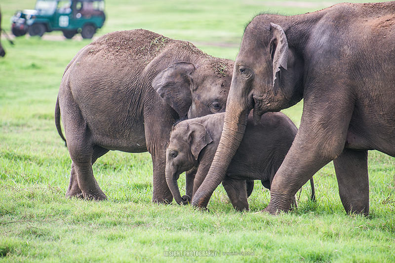Asian Elephant family, Sri Lanka