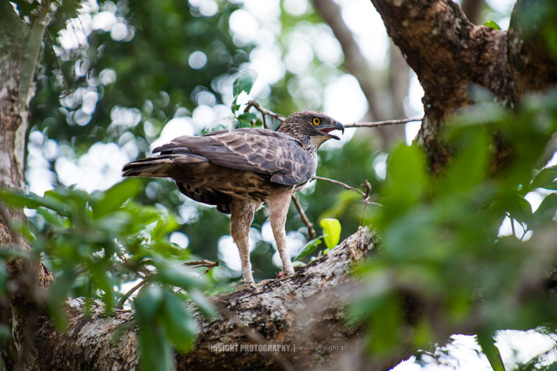 Crested Hawk Eagle, Sri Lanka